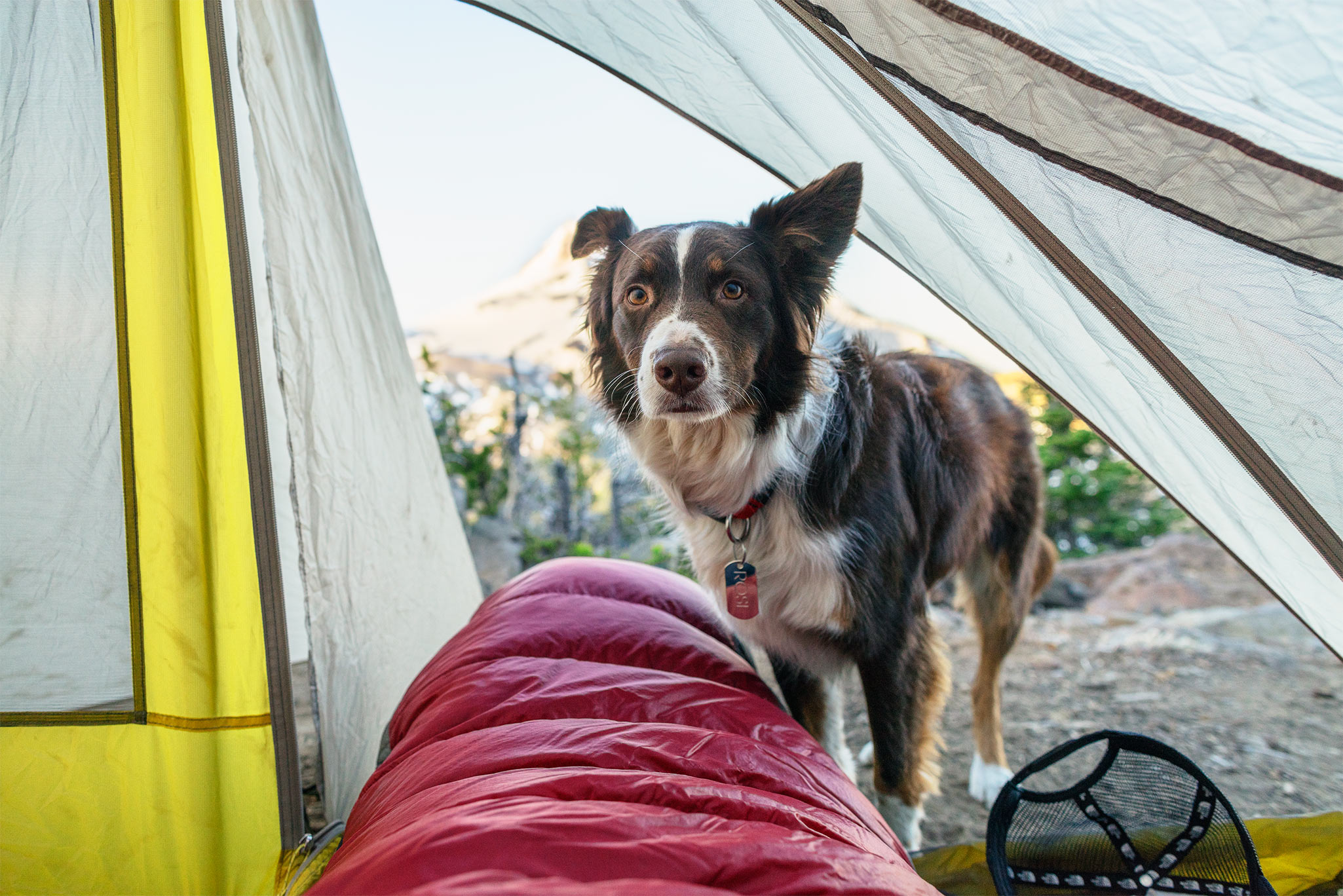 Dog peers into tent while backpacking